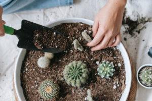 Umpflanzen von Kakteen