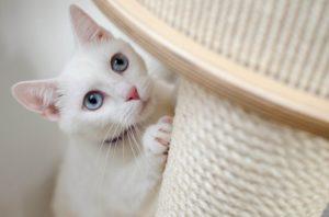 Eine weiße Katze kratzt an einem Sisalstamm.