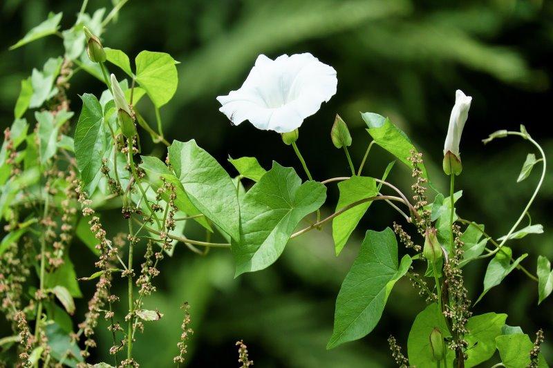 Unkraut rankt über Nutzpflanzen