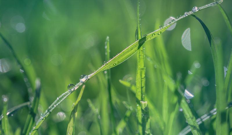 grüne Rasenhalme